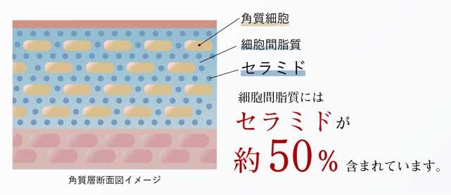 細胞間脂質にセラミドが約50%