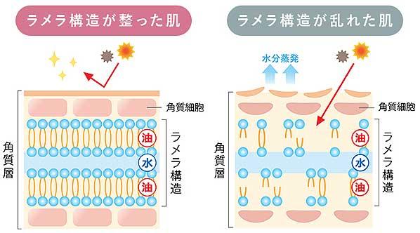 肌のラメラ構造