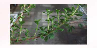 植物幹細胞エキス